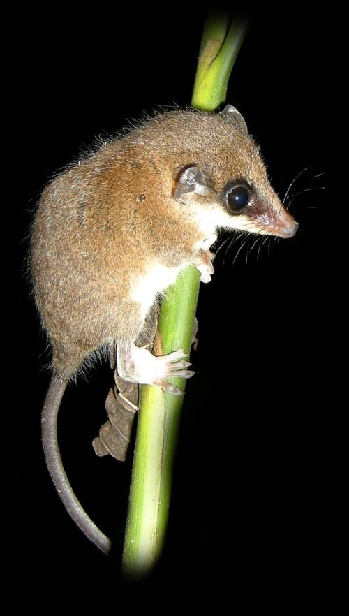 Mexican mouse opossum (Marmosa mexicana).