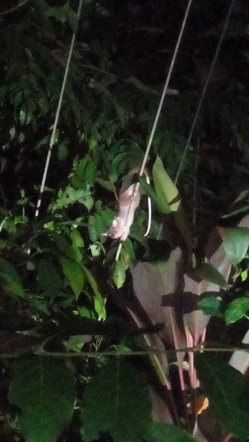 Central American woolly opossum (Caluromys derbianus ).