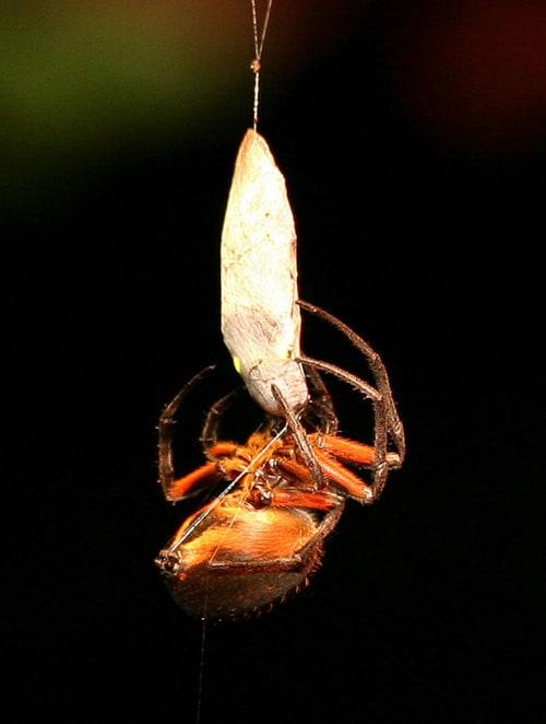 Eriophora orb spider.