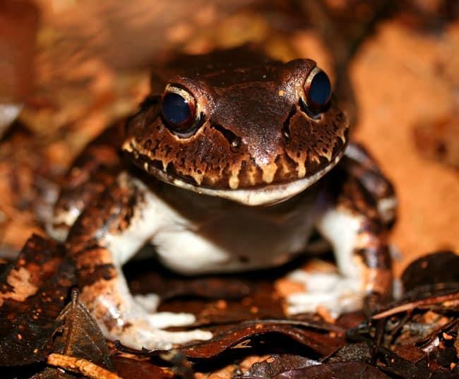 Smoky jungle frog (Leptodactylus savagei).