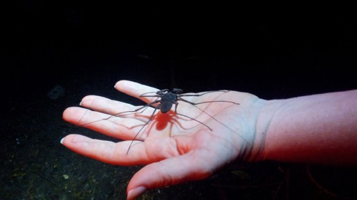 Tracie Stice holds a tailless whip scorpion (Paraphrynus laevifrons).