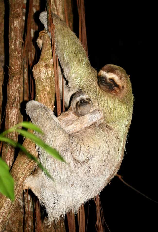Brown-throated three-toed sloth (Bradypus variegatus).