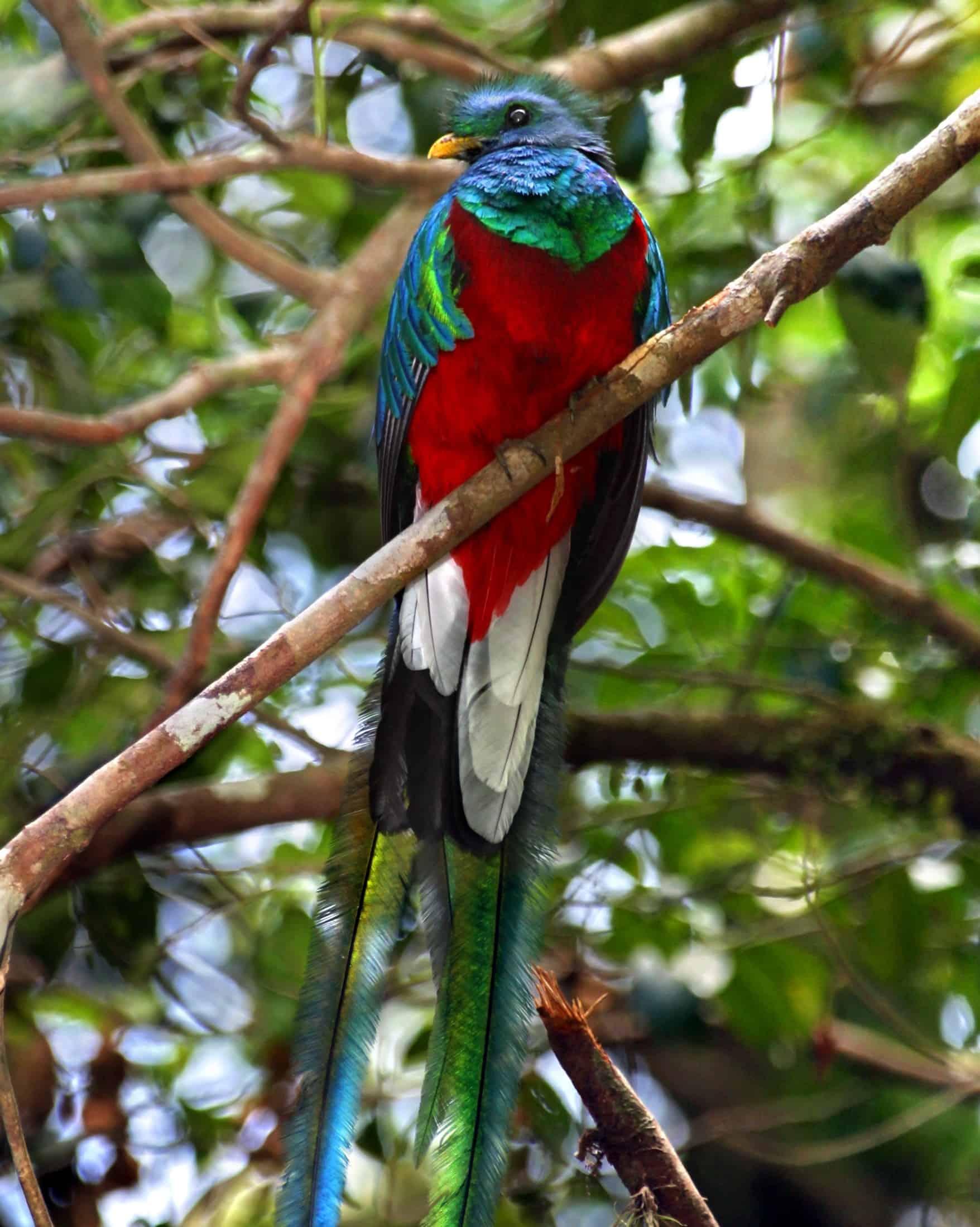 A quetzal in Monteverde