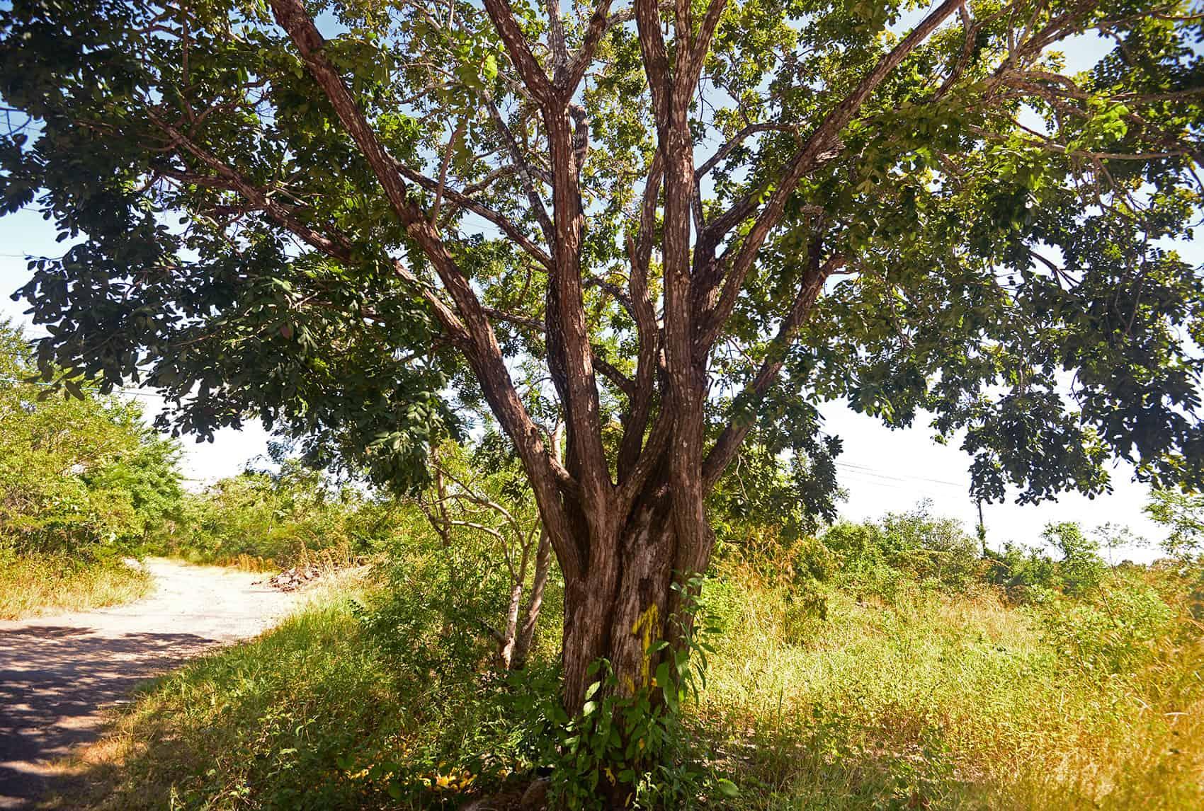 Illegal logging: A cocobolo tree