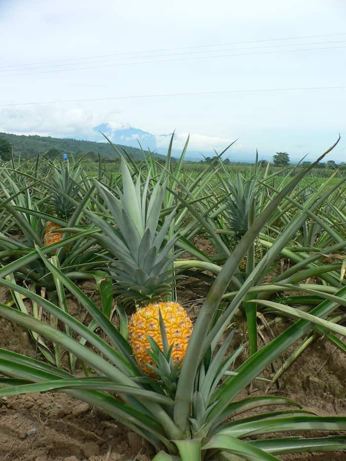 Tropical foods: Pineapple in field