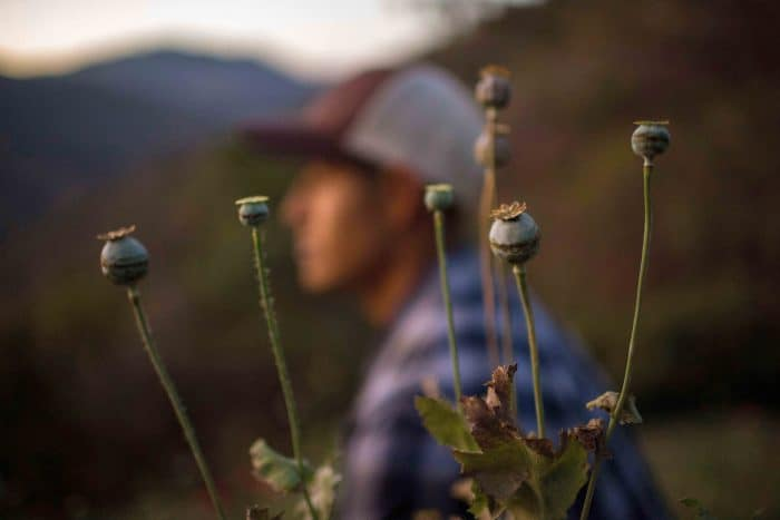 A Mexican opium field