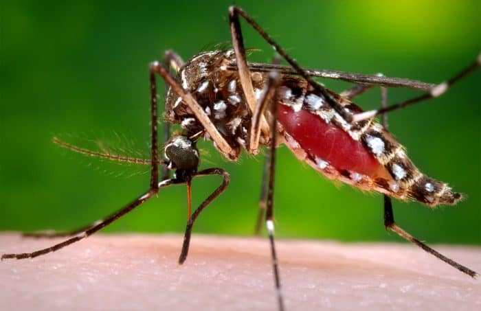 Aedes aegypti mosquito | Zika virus