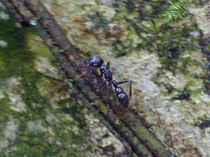 A bullet ant, said to have the most painful sting there is.