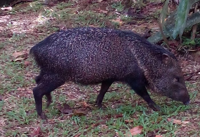 A peccary makes itself at home among the labs and living quarters of La Selva.