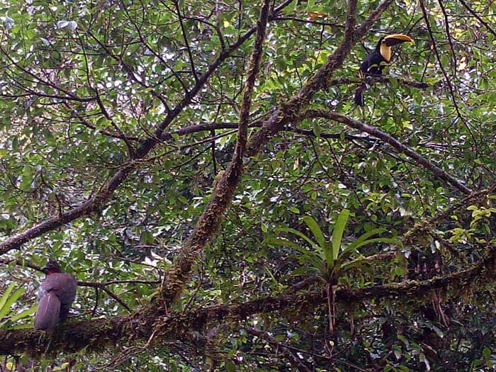 A crested guan, left, shares a tree with a black-mandibled toucan.