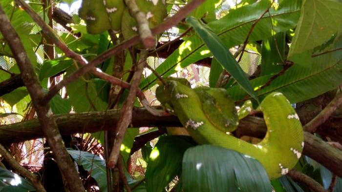 South American tree boa.