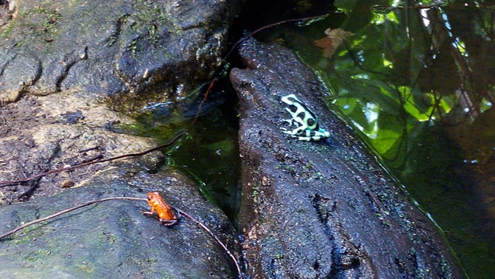 Strawberry and green-and-black poison dart frogs.