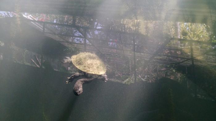 Roti Island snake-necked turtle.