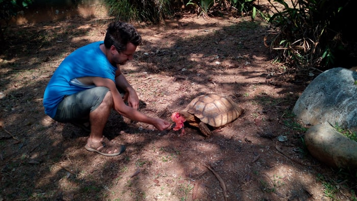 Roel de Plecker of Parque Reptilandia feeds hibiscus flowers to an African tortoise.