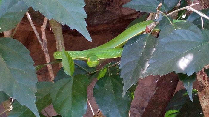 Green vine snake.