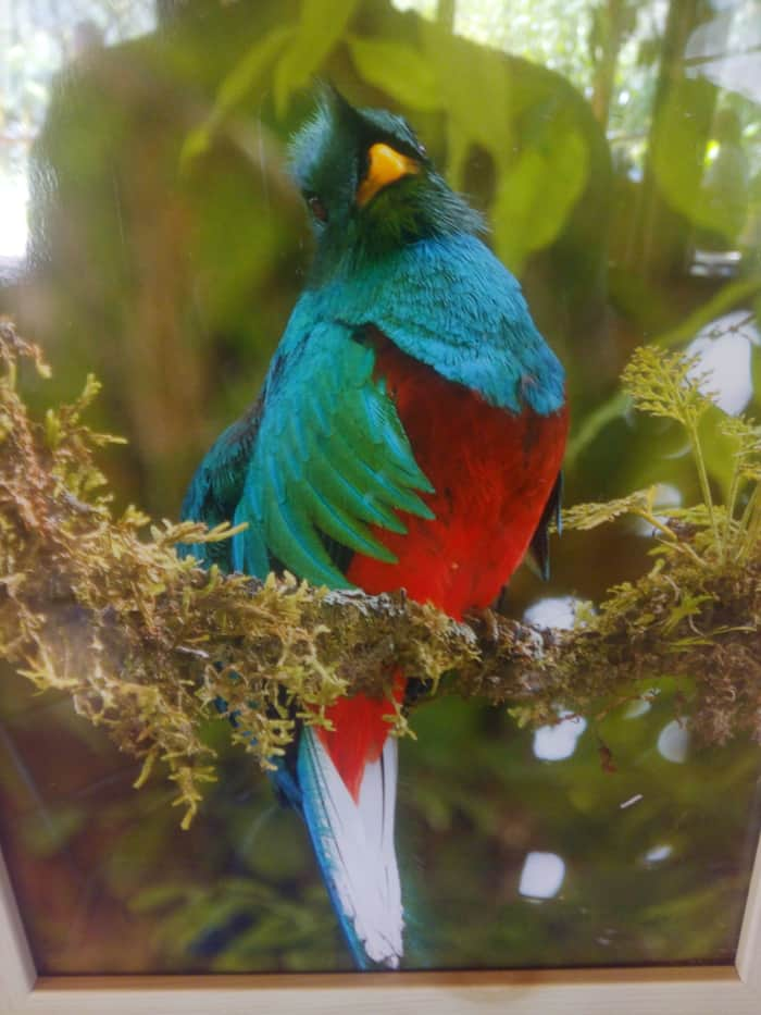 Photo of a photo of a resplendent quetzal spotted near El Toucanet.