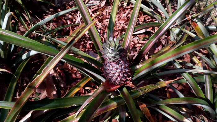 Tiny pineapple.