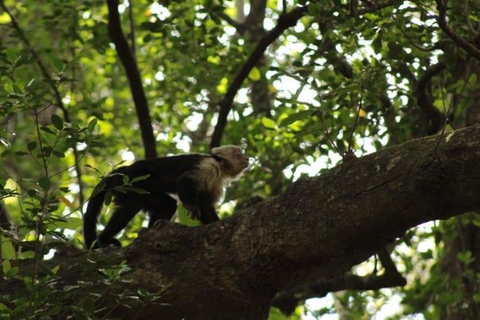 Llano del Cortes monkey