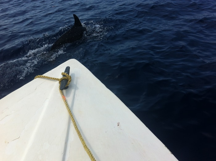 A false killer whale swims with our boat.