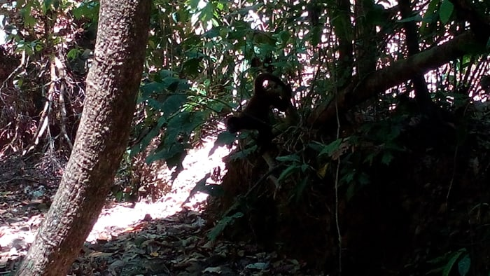 A spider monkey descends from the trees.