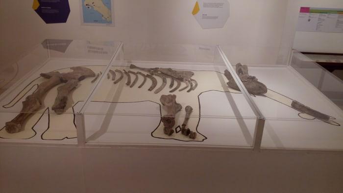 Bones of a juvenile mastodon.