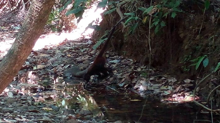 A spider monkey drinks from a puddle in a mostly dry riverbed.