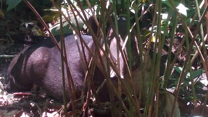 A tapir spots a tourist.