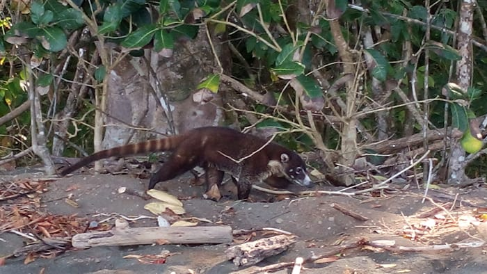 A coati prowls the beach at Corcovado.