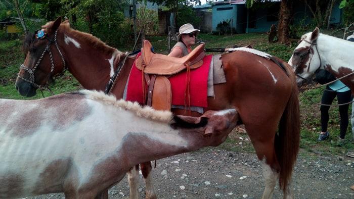 A pony nurses from Don Gerardo's mare.