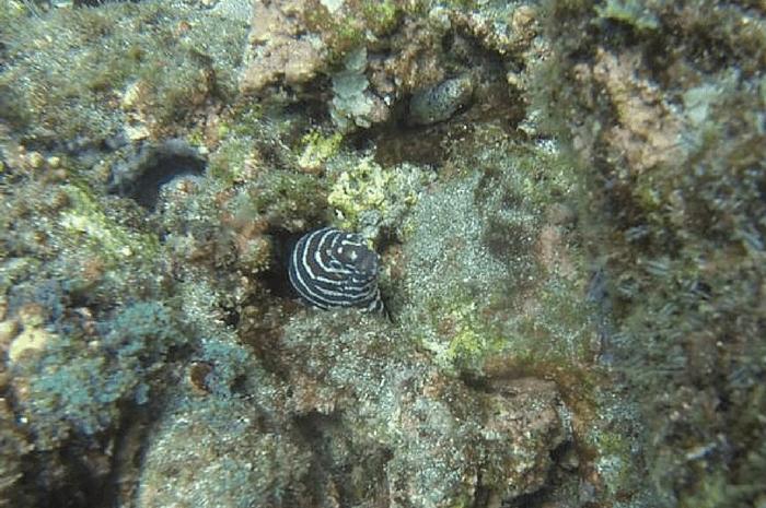 Zebra eel.