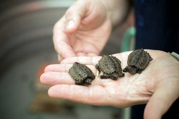 Baby snapping turtles.