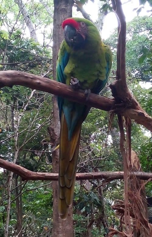 Great green macaw (Ara ambiguus).
