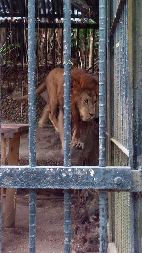 Kivu the lion paces in his cage.