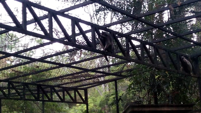 Raccoons crawl on the girders near the roof of their new enclosure.