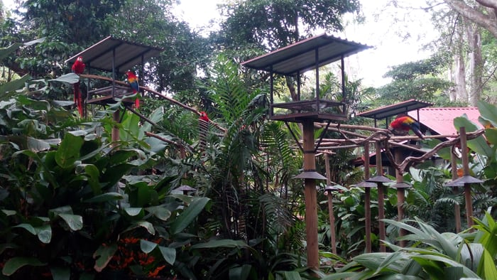 Scarlet macaws have a roofless enclosure but for various reasons cannot fly normally.