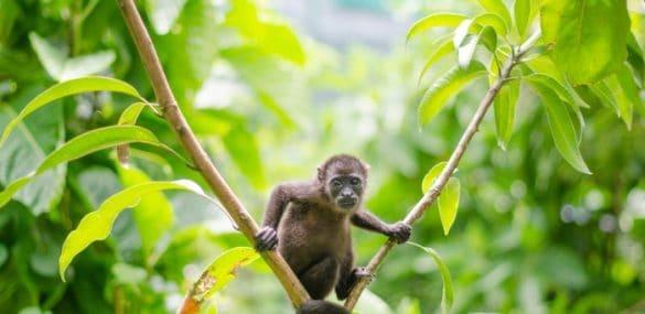 SIBU Costa Rica monkey