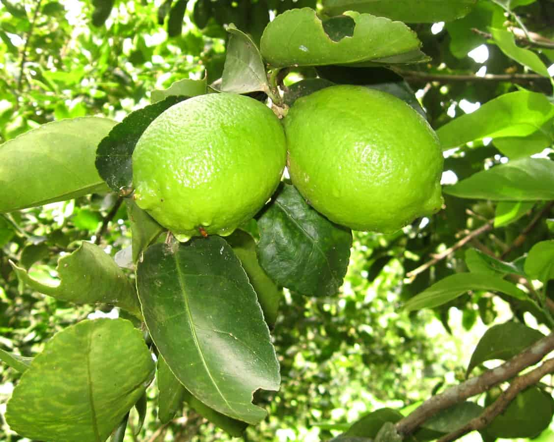Lime tree in Costa Rica