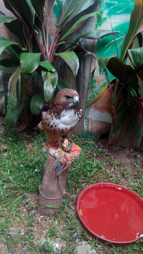A red-tailed hawk named Rojo.