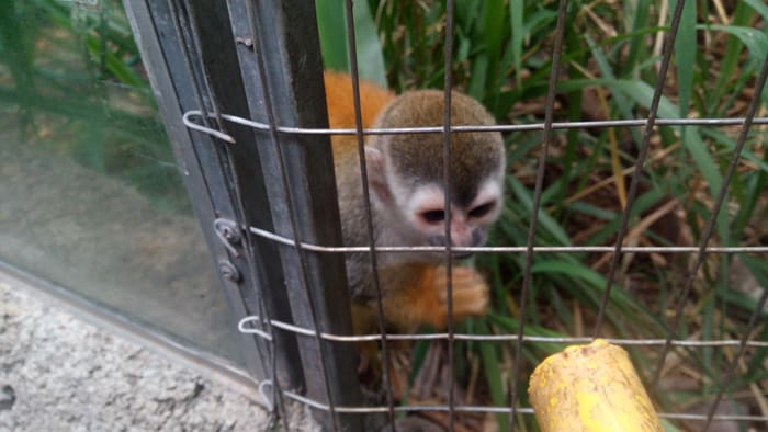 A squirrel monkey at the Refugio Herpetológico in Santa Ana.