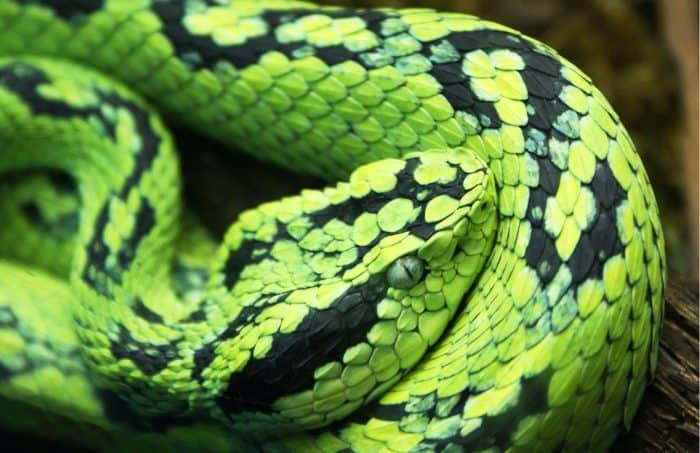 Black-Speckled Palm-Pitviper, Bothriechis nigroviridis