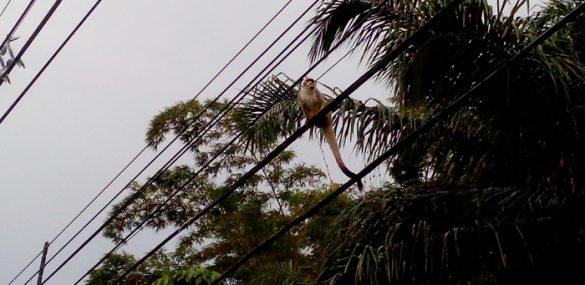 A squirrel monkey on the road between Quepos and Manuel Antonio.