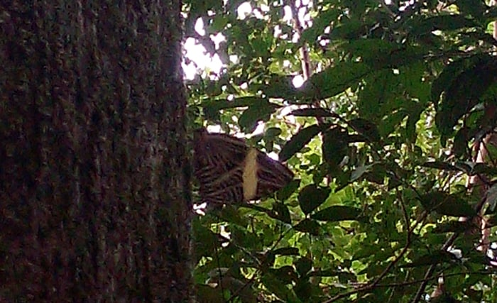 A two-headed butterfly perches on a tree upside down, with a tail on top that looks like a head.