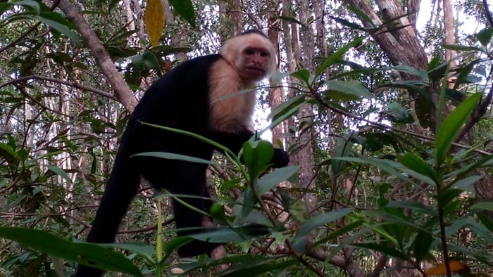 White-faced monkey spots tourists.