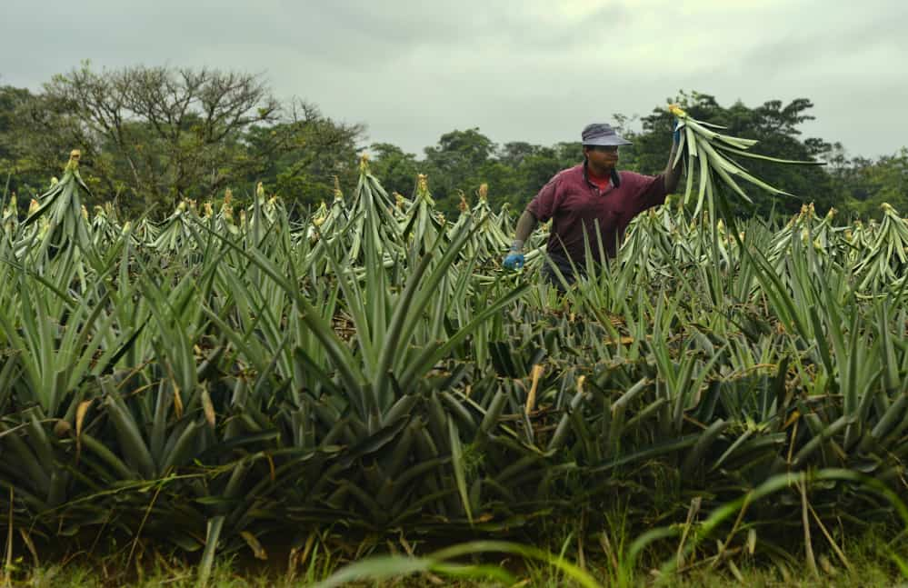 Costa Rica pineapple farming