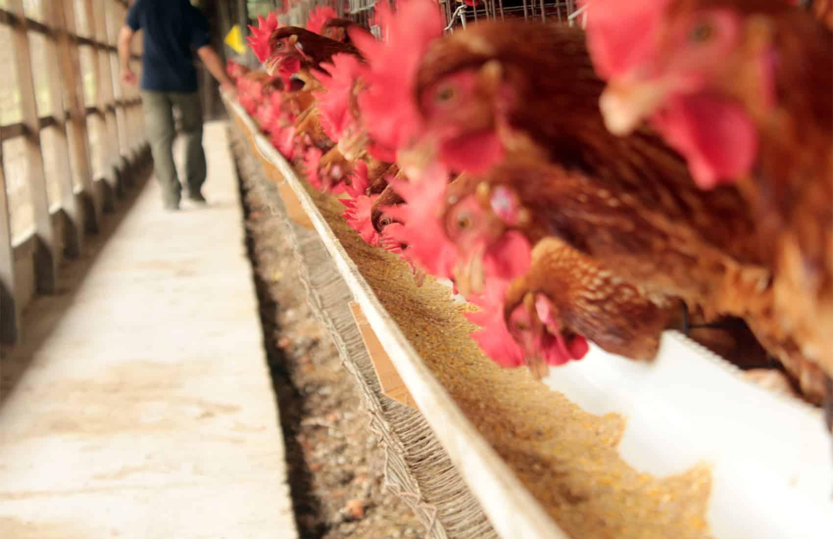 Selenium-enriched chicken food