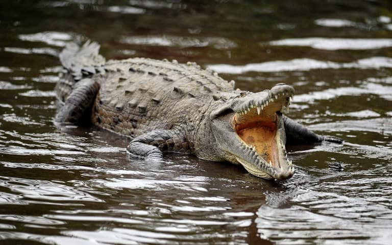 A crocodile remains in an antificial pond of a private hotel near La Fortuna, in the Costa Rican rainforest some 110 km northwest of San Jose, on April 5, 2010.