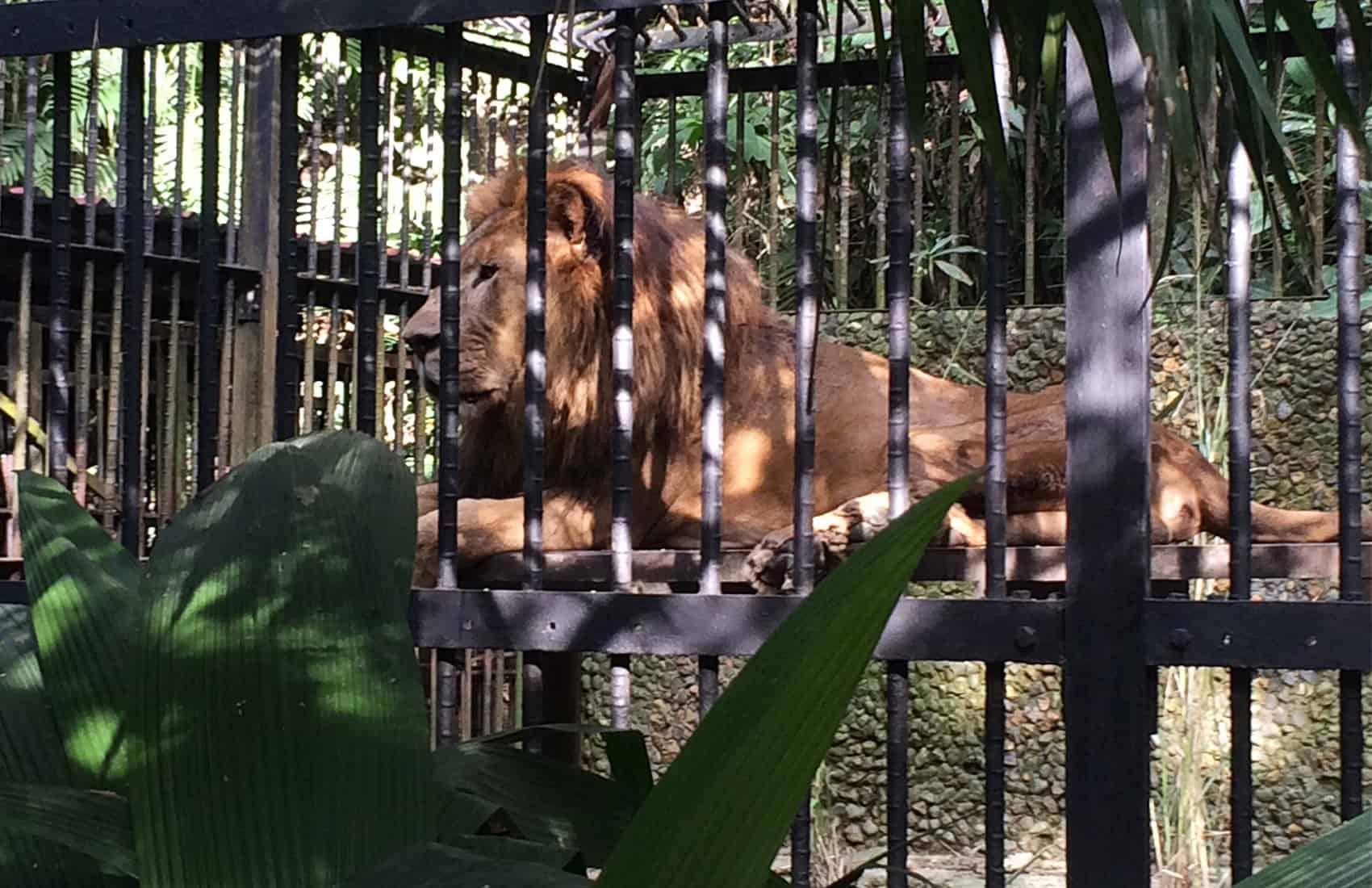Kivú the lion. Simón Bolívar Zoo, San José. Nov. 7 2016.
