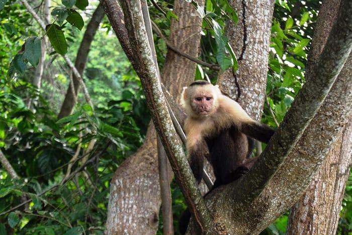 White-faced capuchin on banana patrol by the veranda.