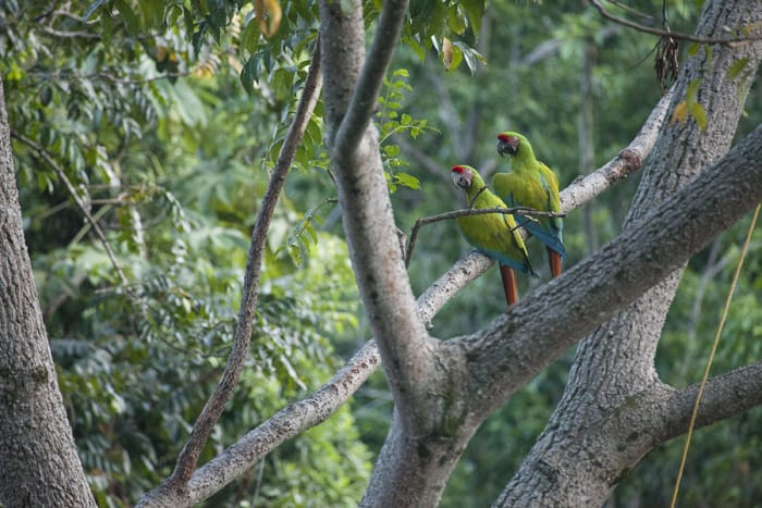 Two parrots at a conservatory in Puerto Viejo.