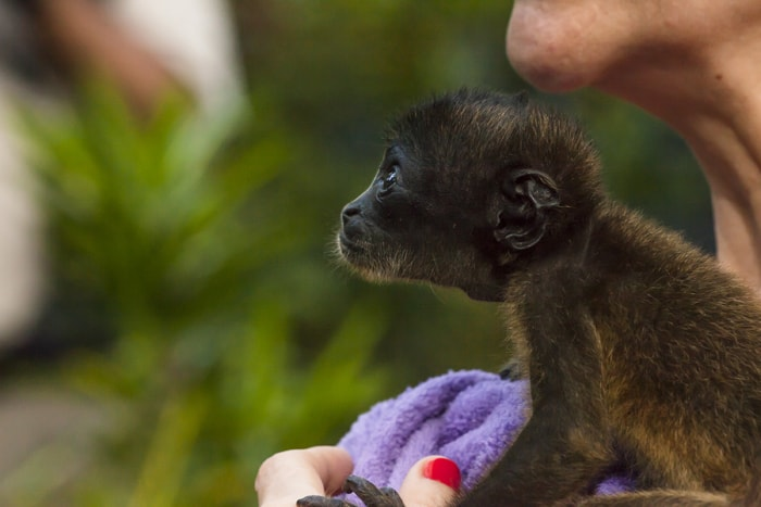 A baby monkey is held in the hands of Encar García Vila, who owns the Jaguar Rescue Center, home to orphaned and injured animals.